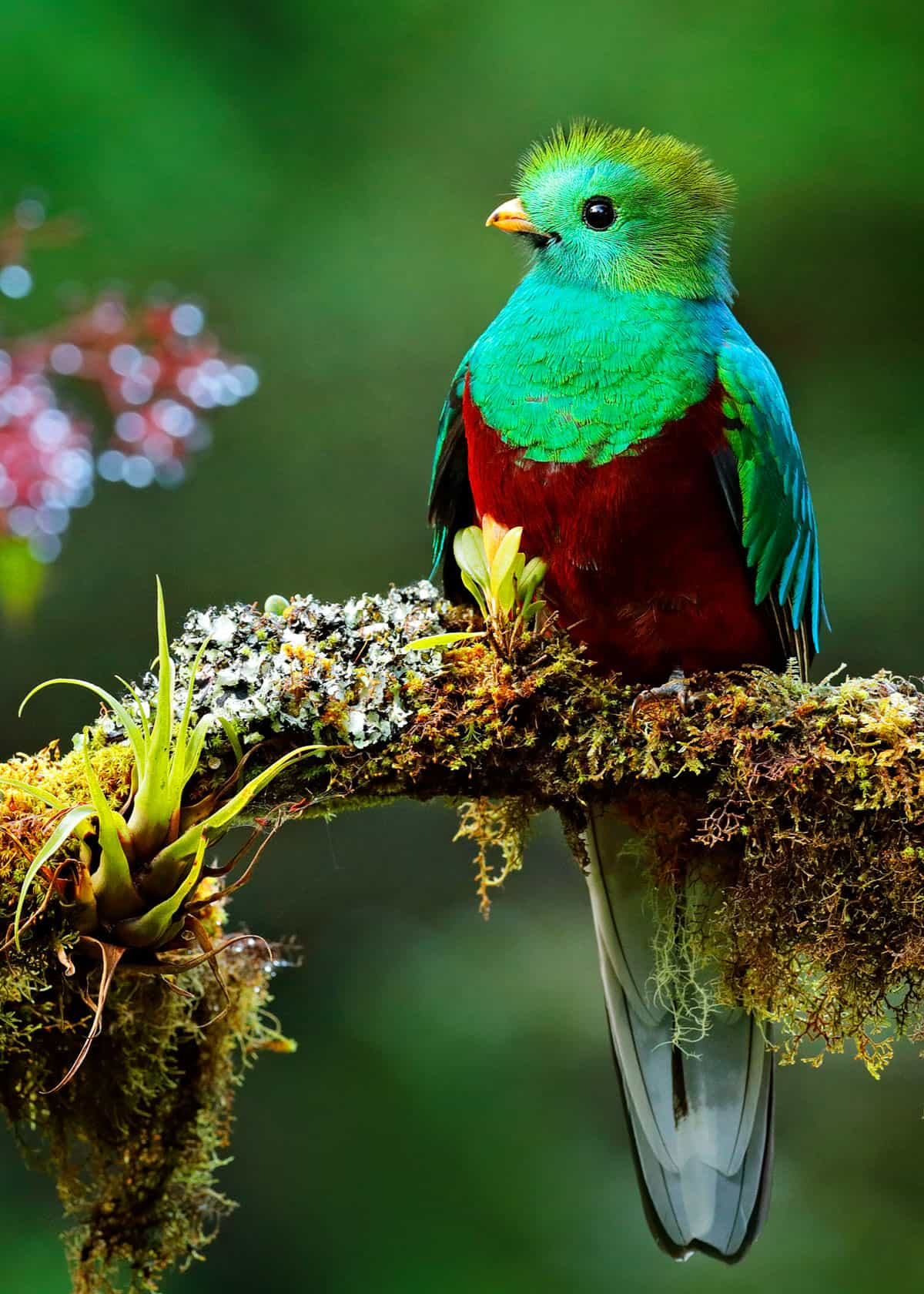 Green and red bird Pharomachrus mocinno