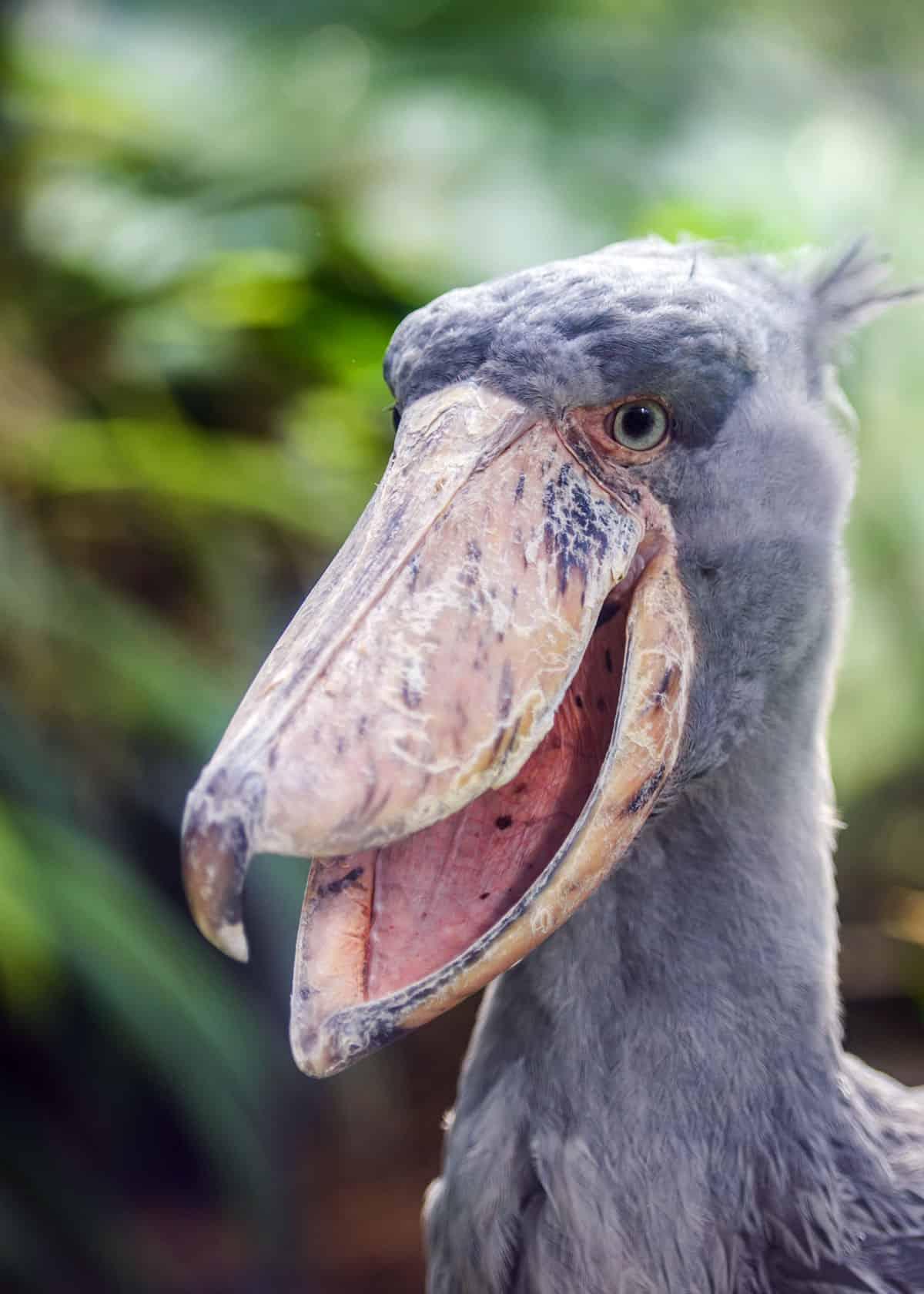Shoebill Balaeniceps rex