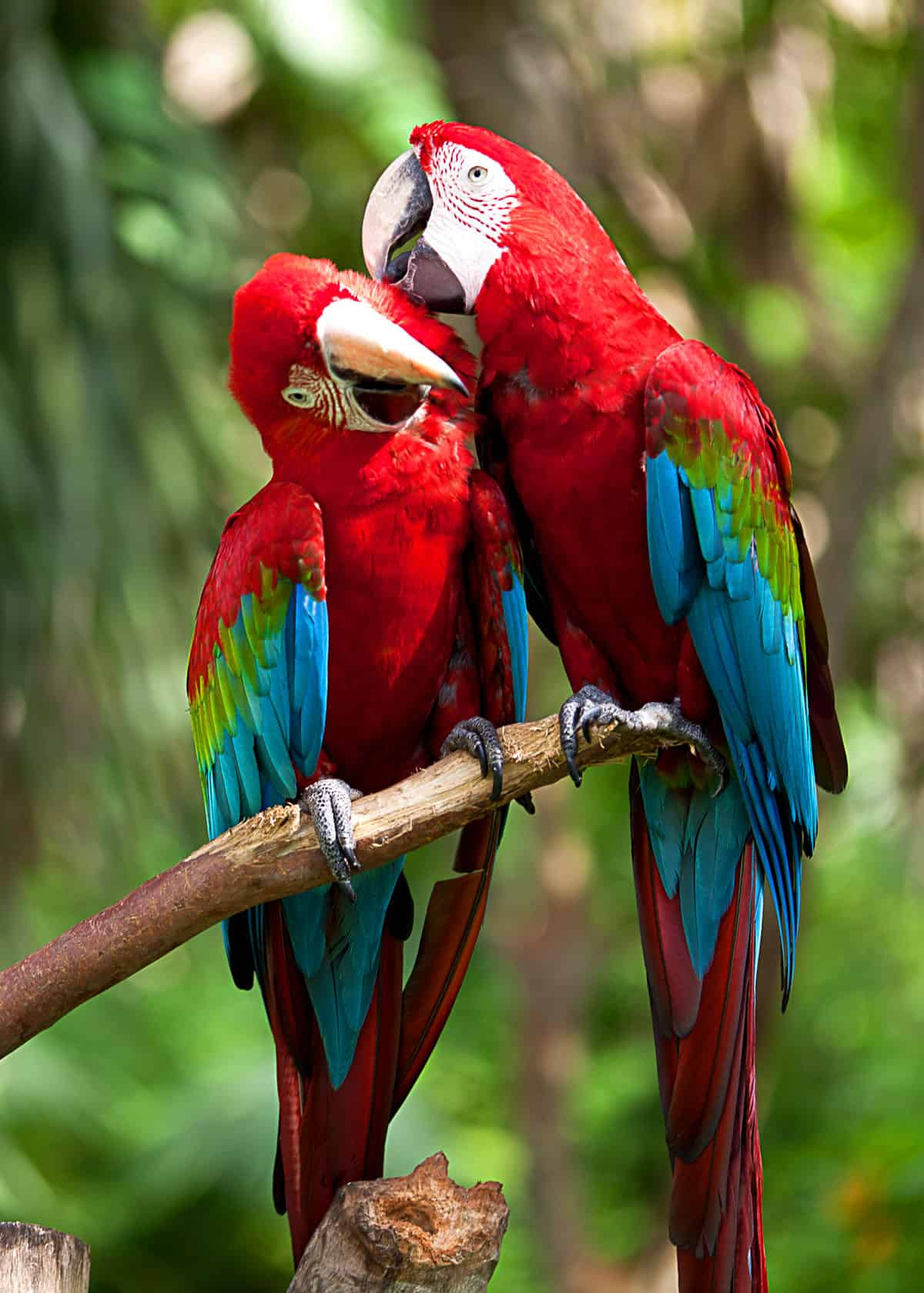 scarlet macaw mate for life