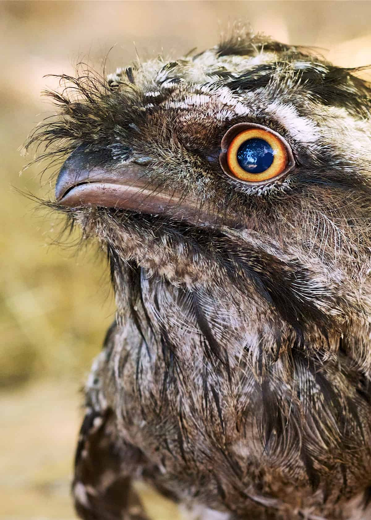 Tawny shouldered frogmouth