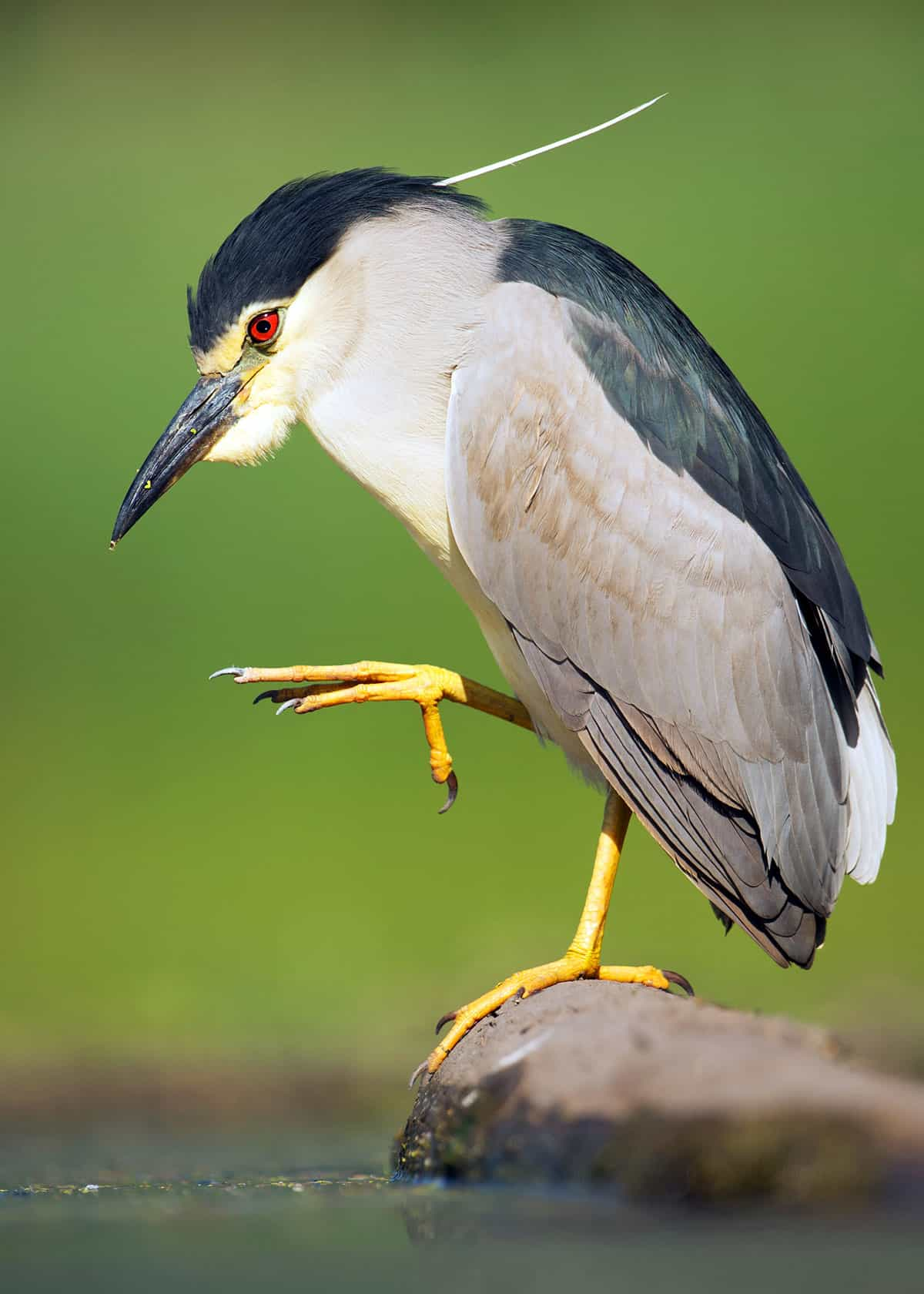 Black crowned night heron Nycticorax nycticorax