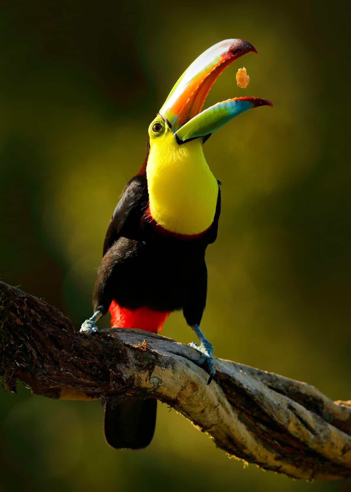 keel billed toucan Ramphastos sulfuratus