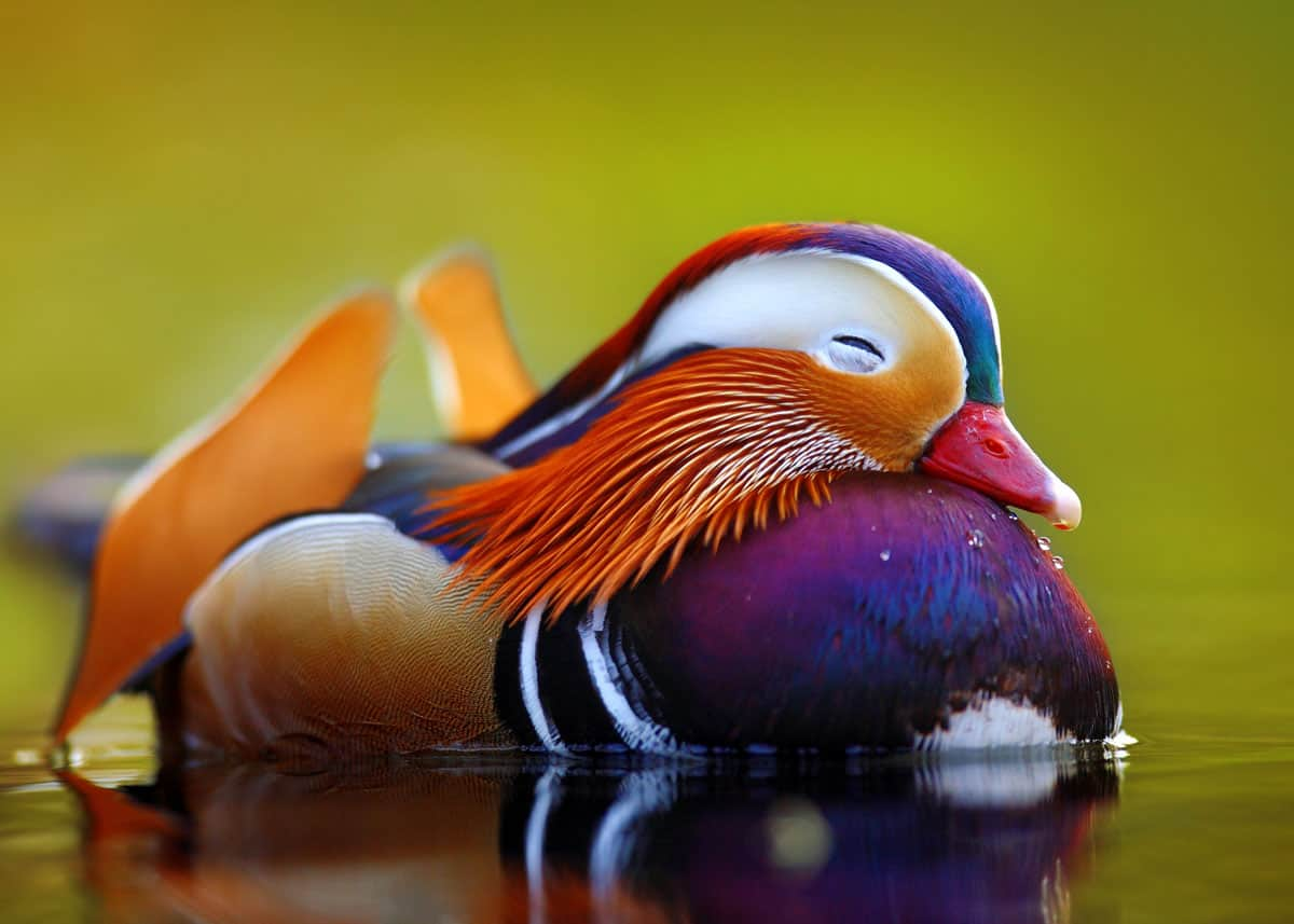 Mandarin duck facts