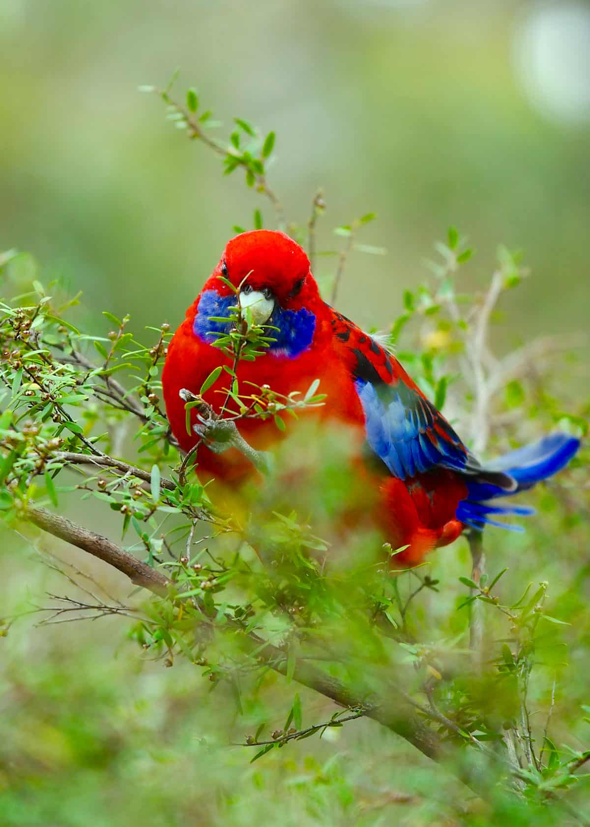 Red and blue parrot Platycercus elegans