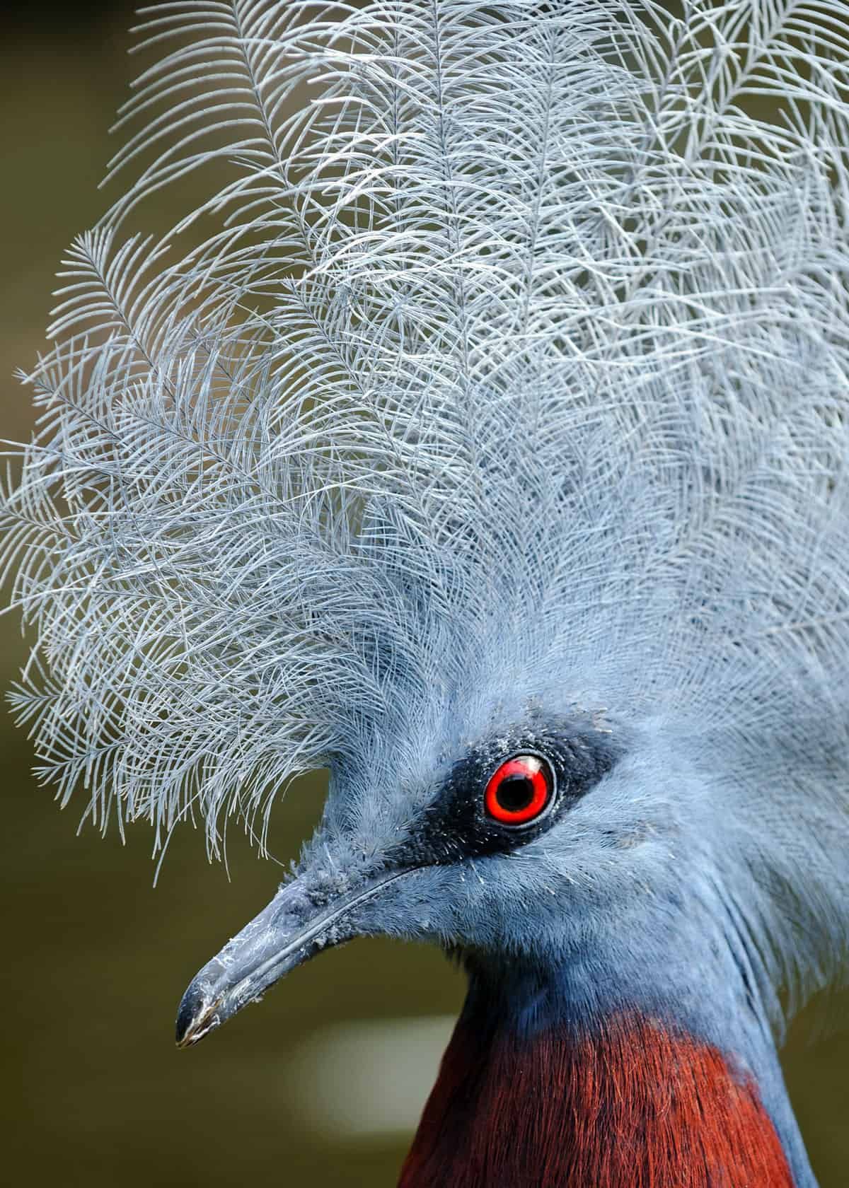 Western crowned pigeon Goura cristata