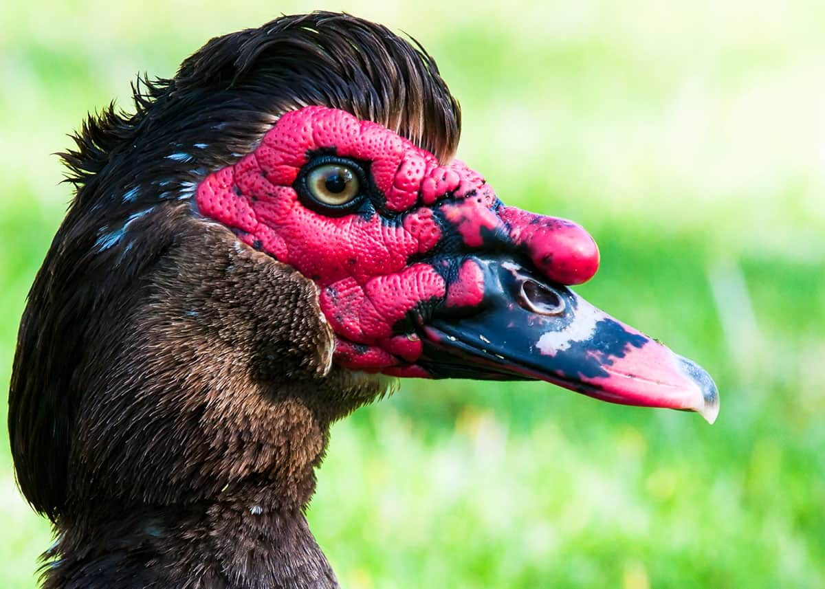 Muscovy duck facts