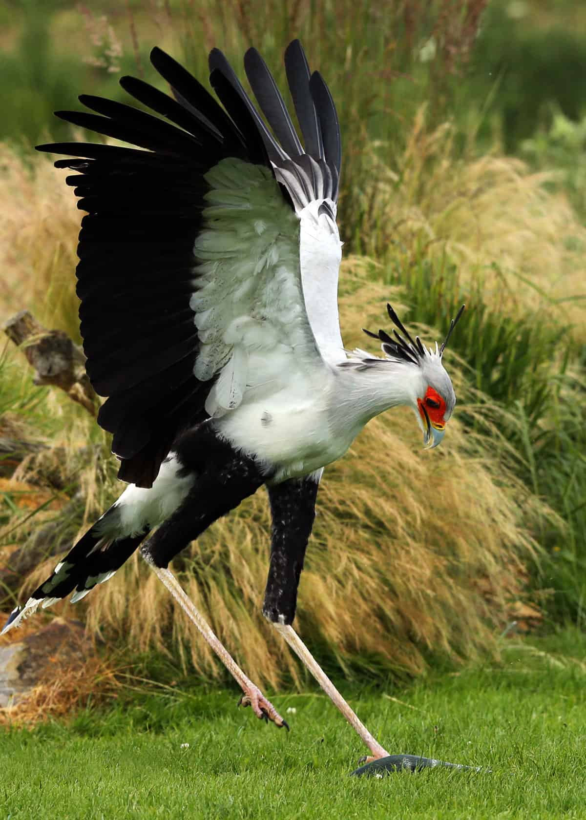 Secretary bird kicking snake