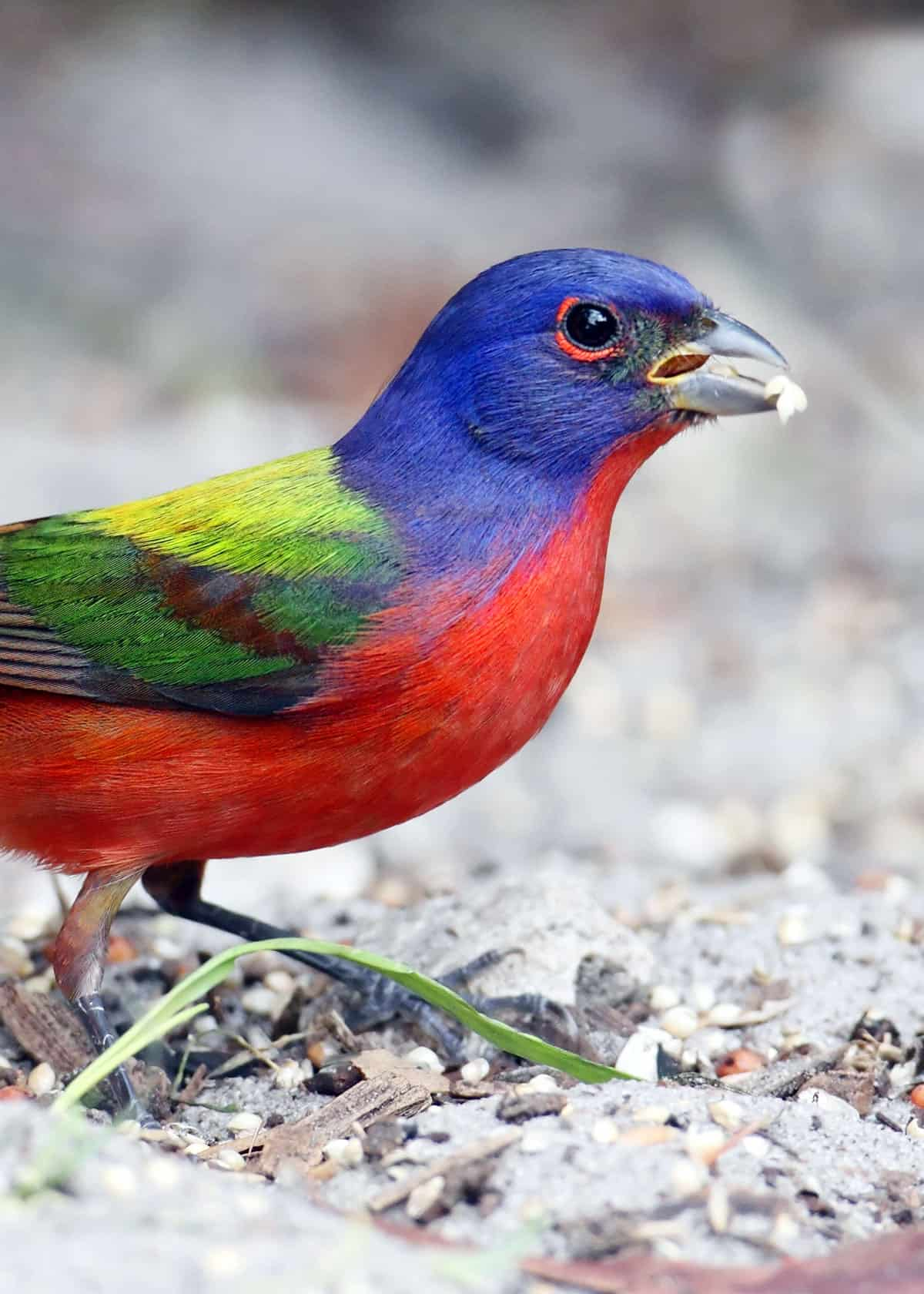Are painted buntings friendly?