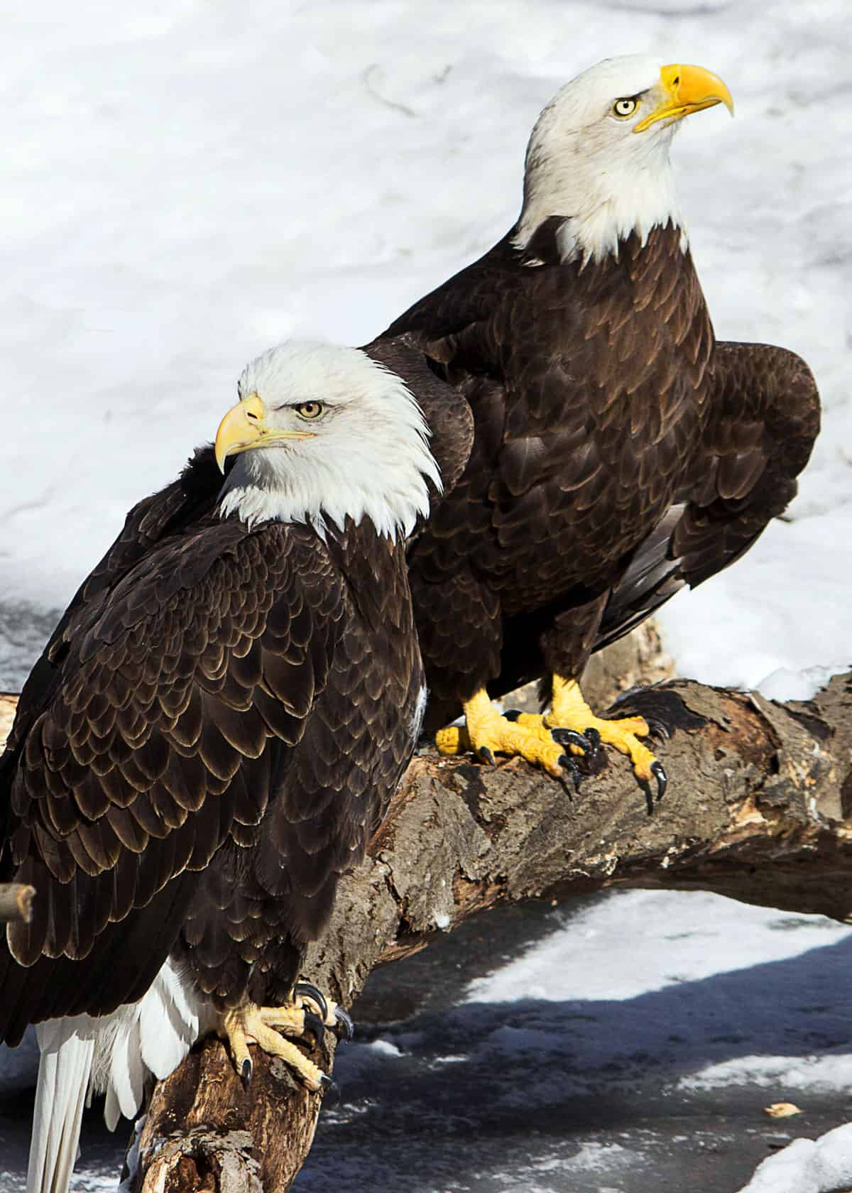 bald eagles mate for life