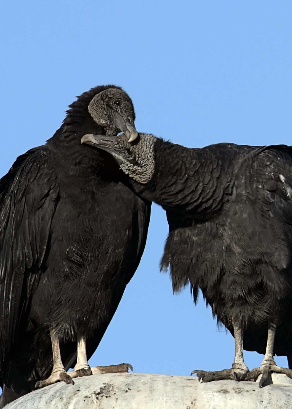 zwarte gier paart voor het leven