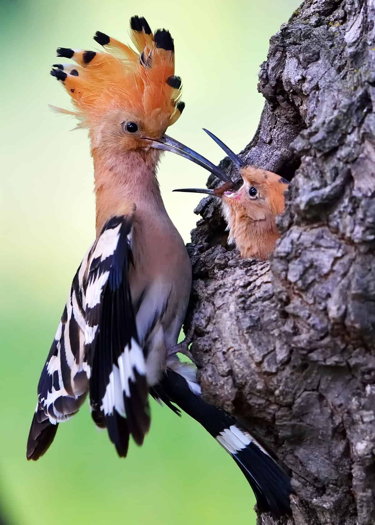 Do hoopoes mate for life?
