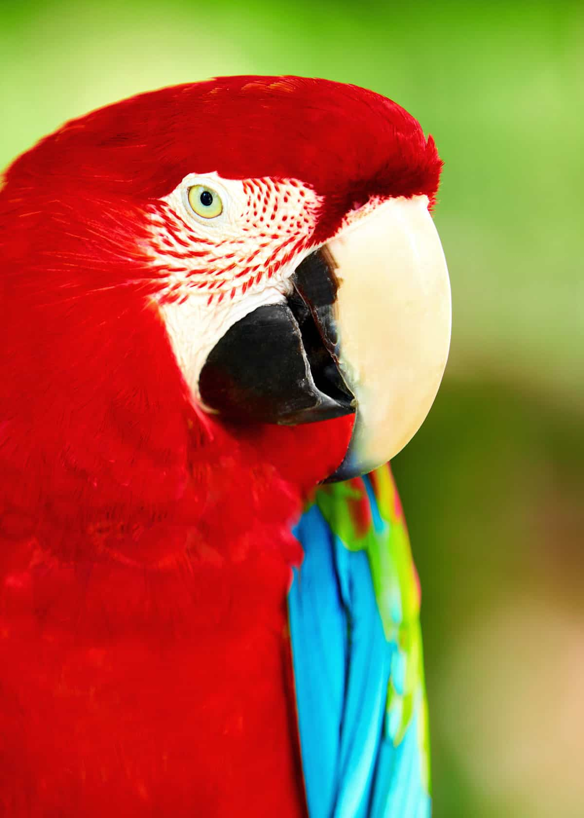 Do scarlet macaws make good pets?