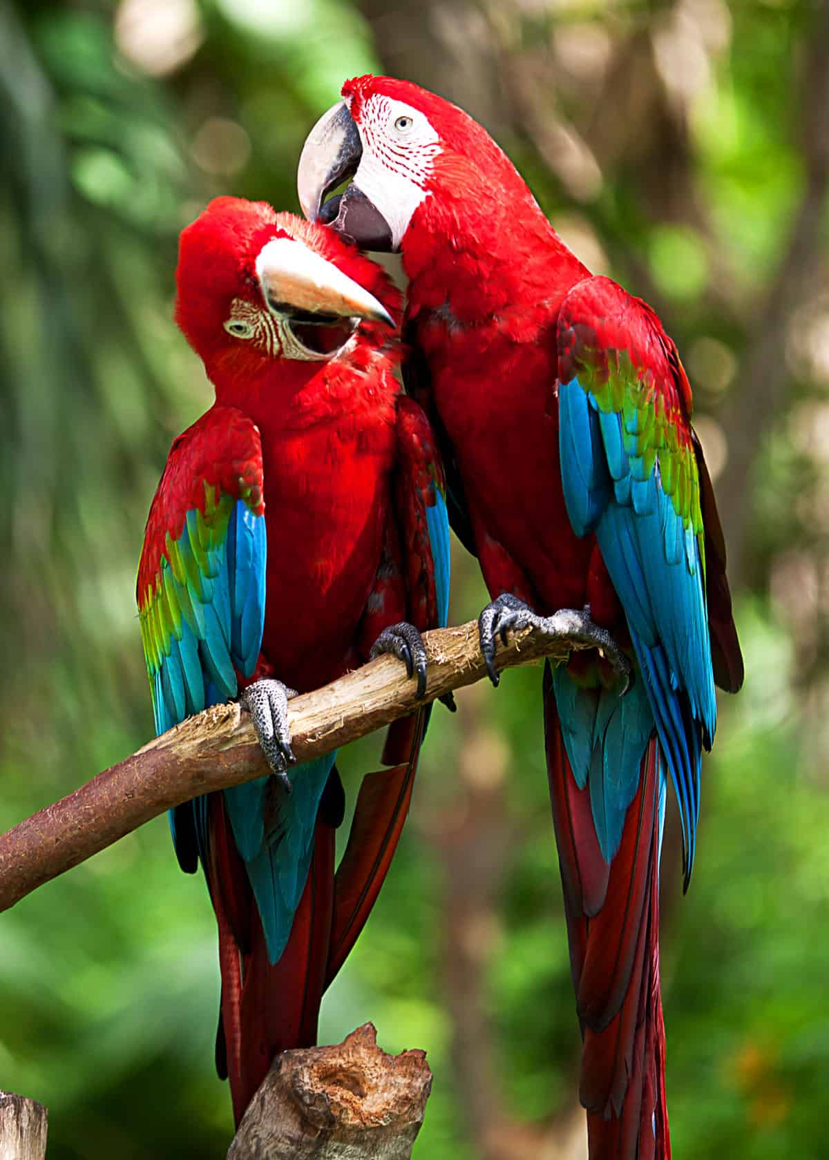 Do scarlet macaws mate for life?