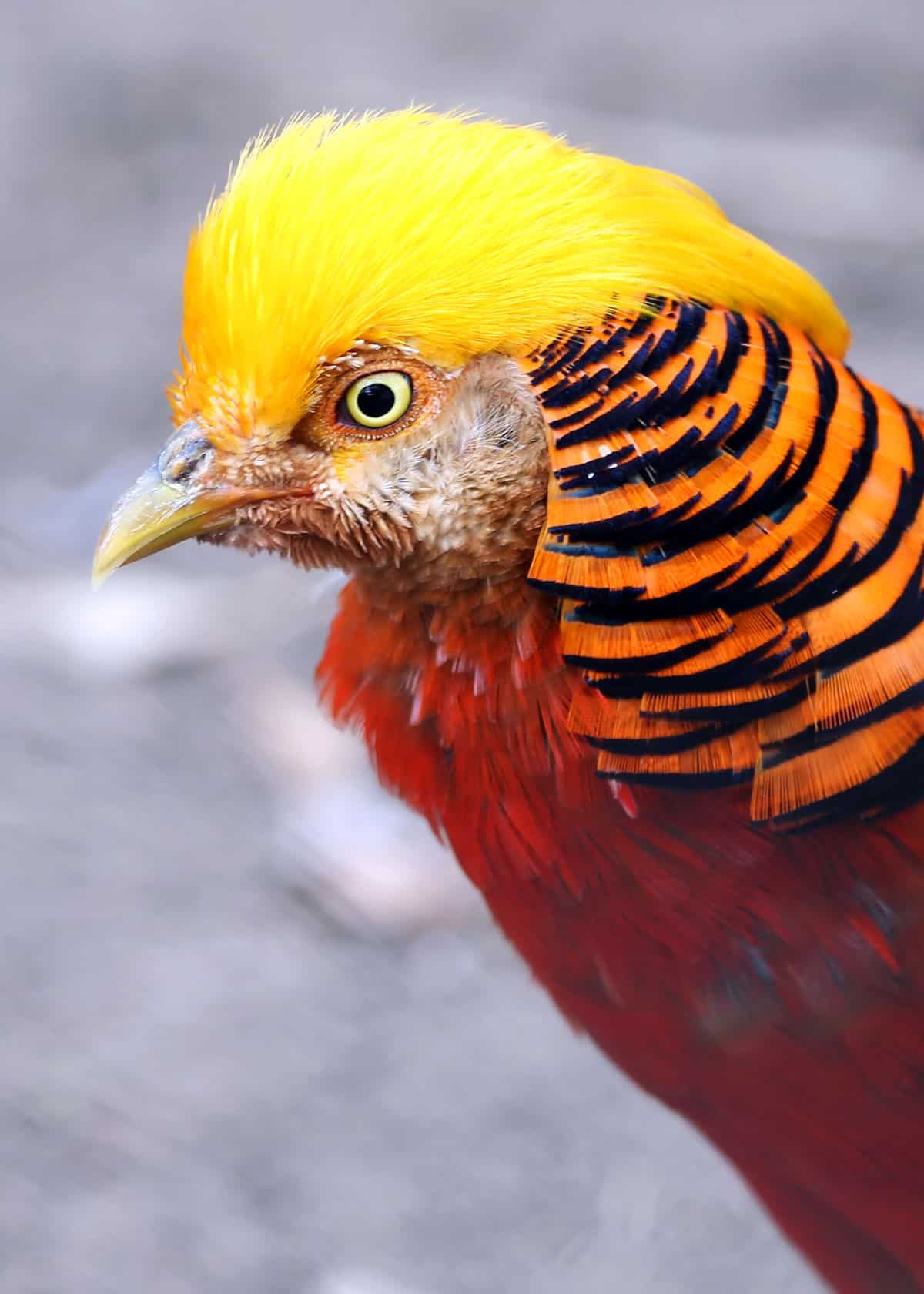 Facts about golden pheasant