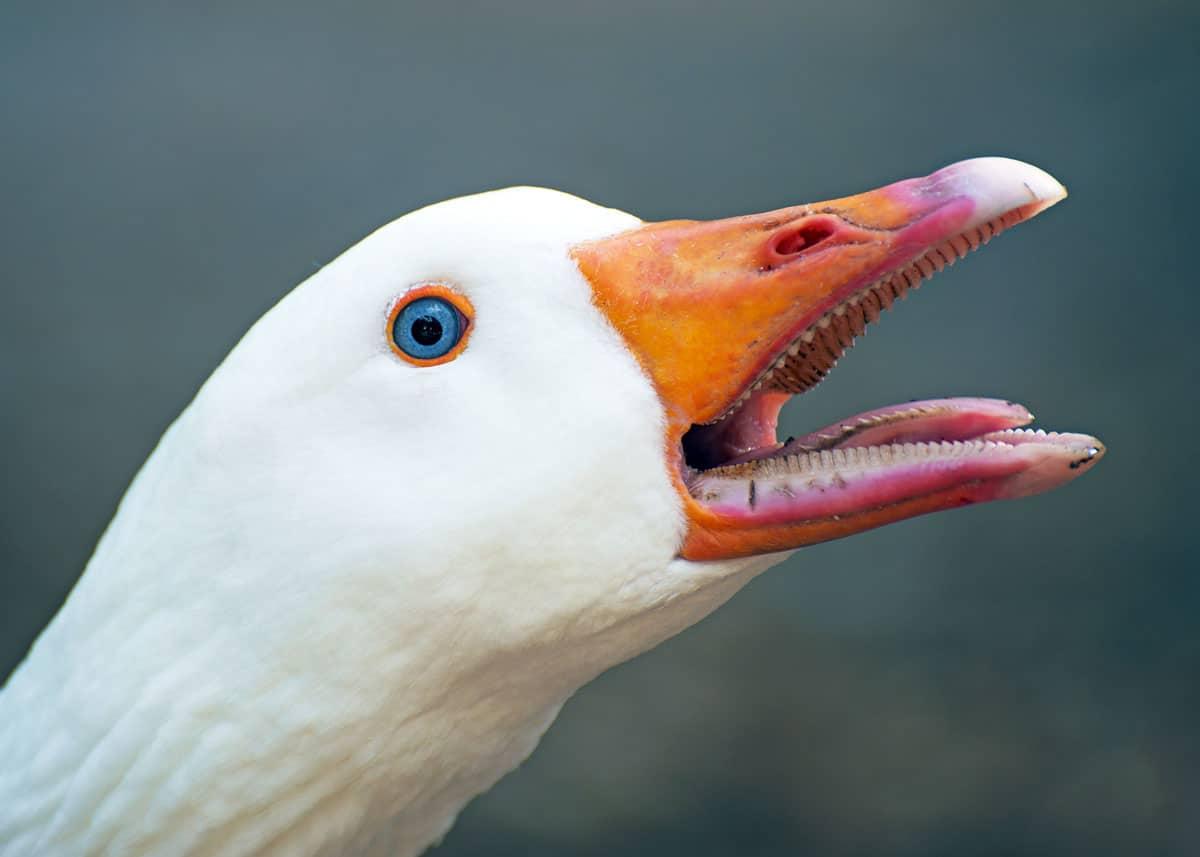 Geese teeth