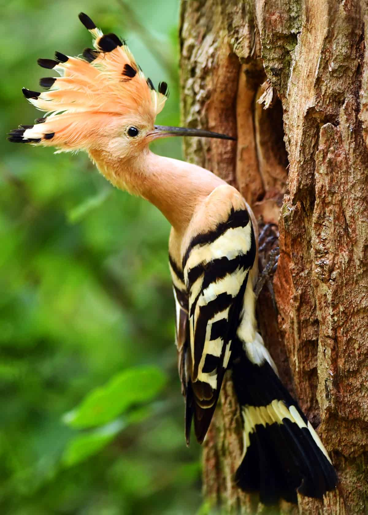 Hoopoe Latin name