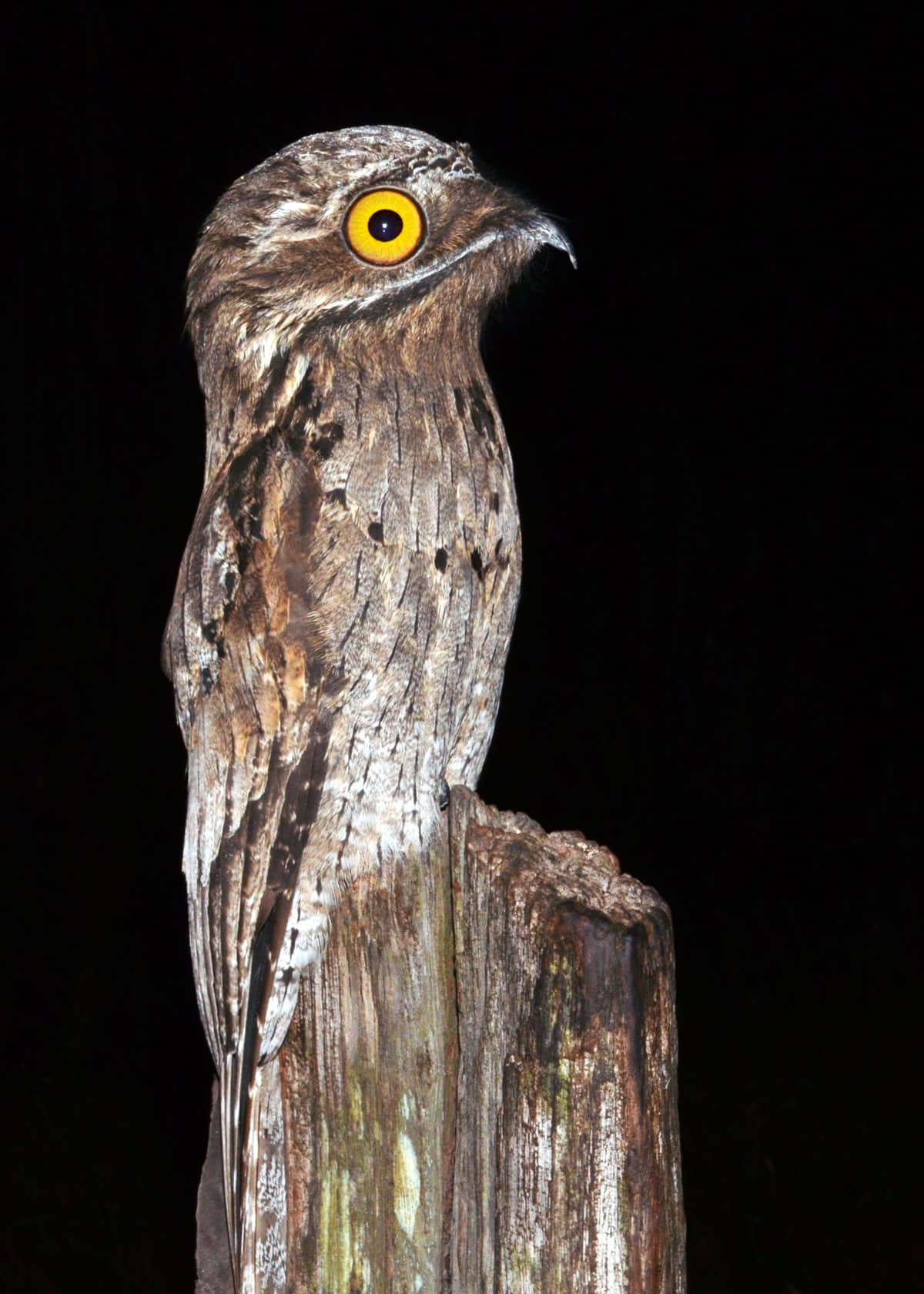 How big is the potoo?