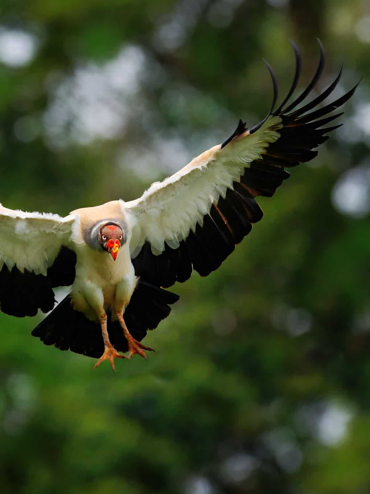 King vulture in flight