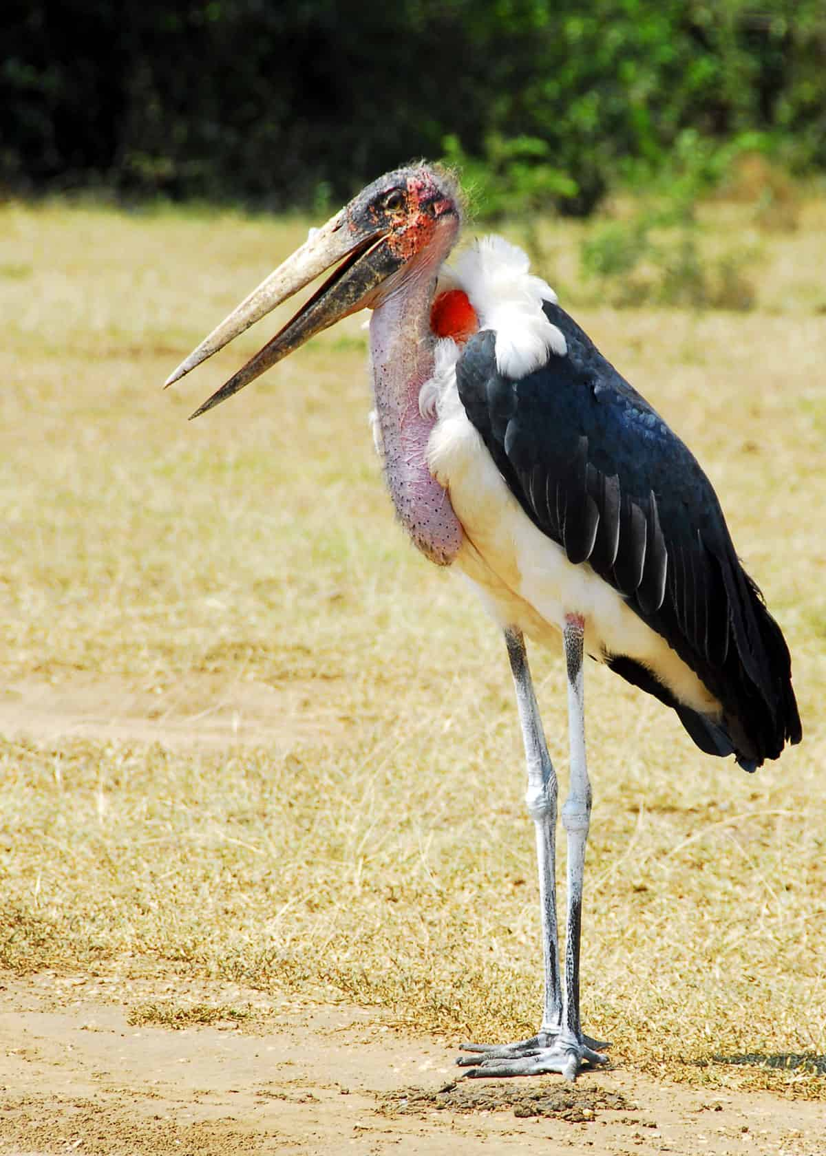 Marabou stork height