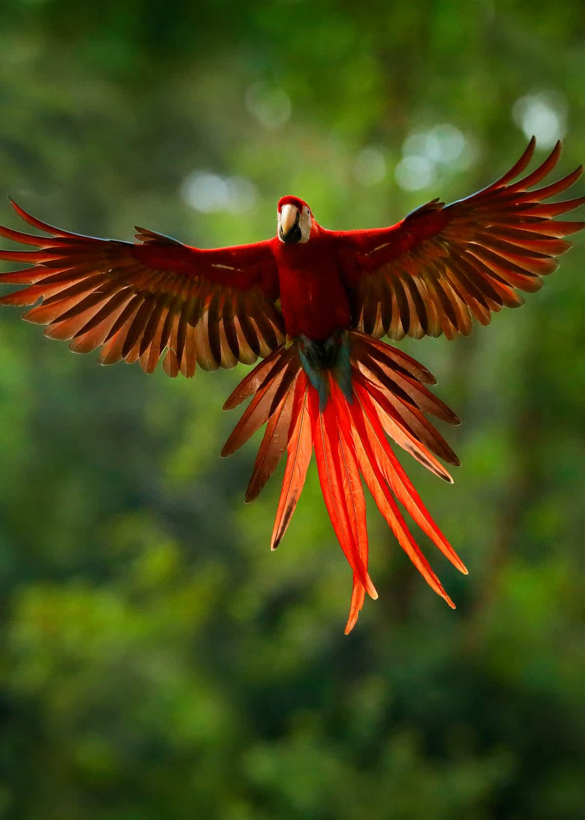 Scarlet macaw colors