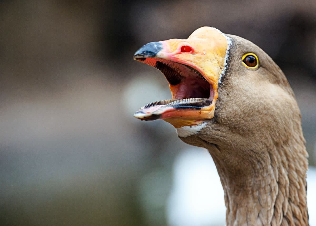 screaming goose