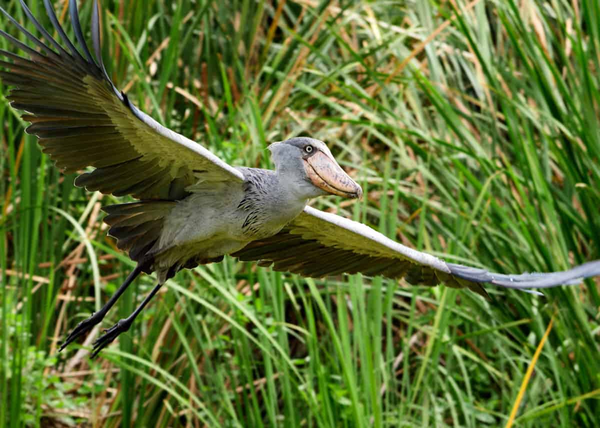 Shoebill flying