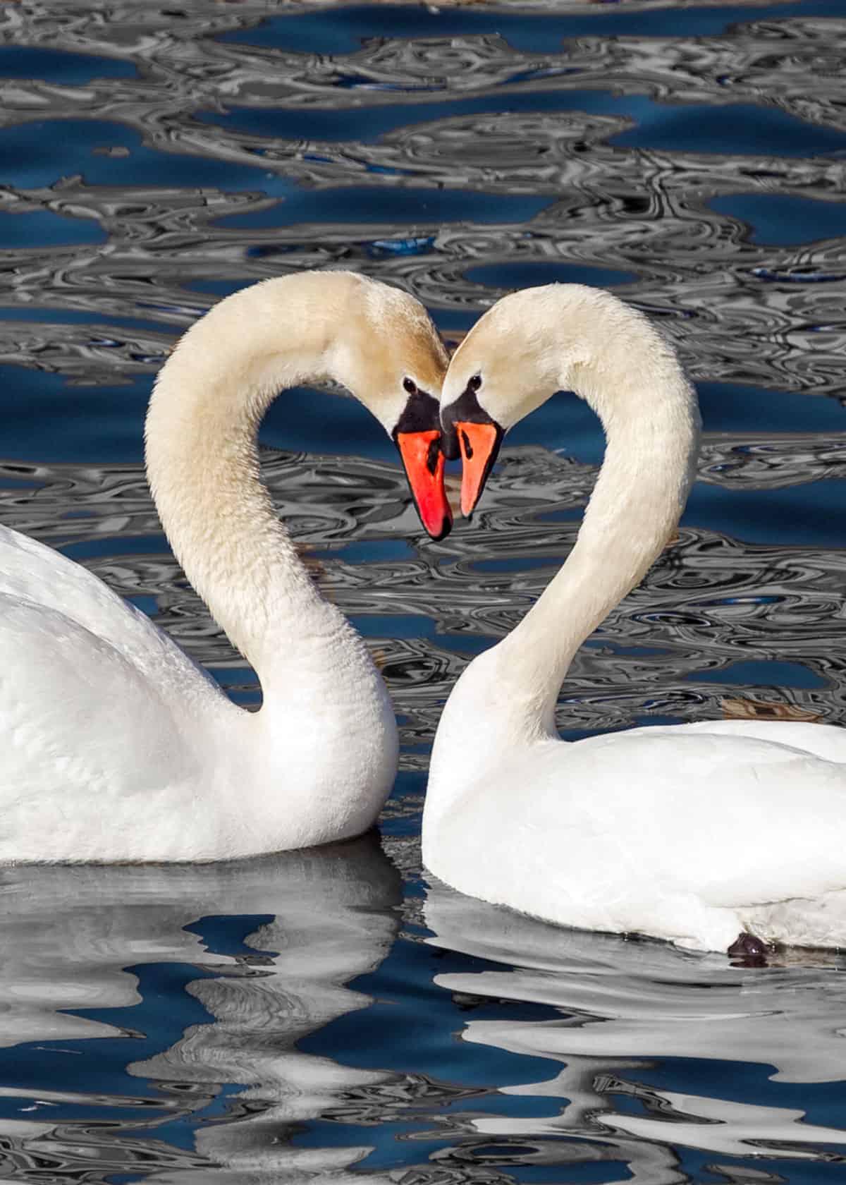 swan heart couple love