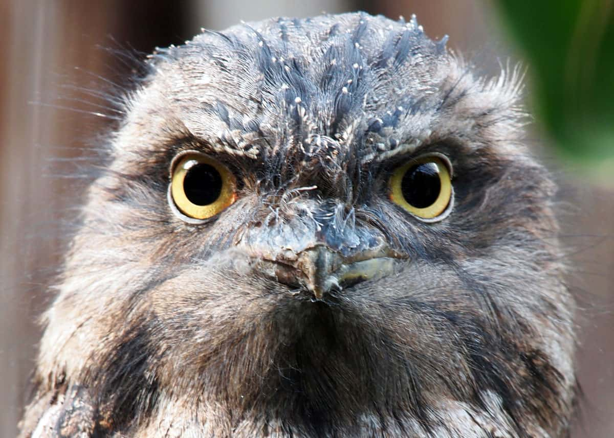 Tawny frogmouth facts