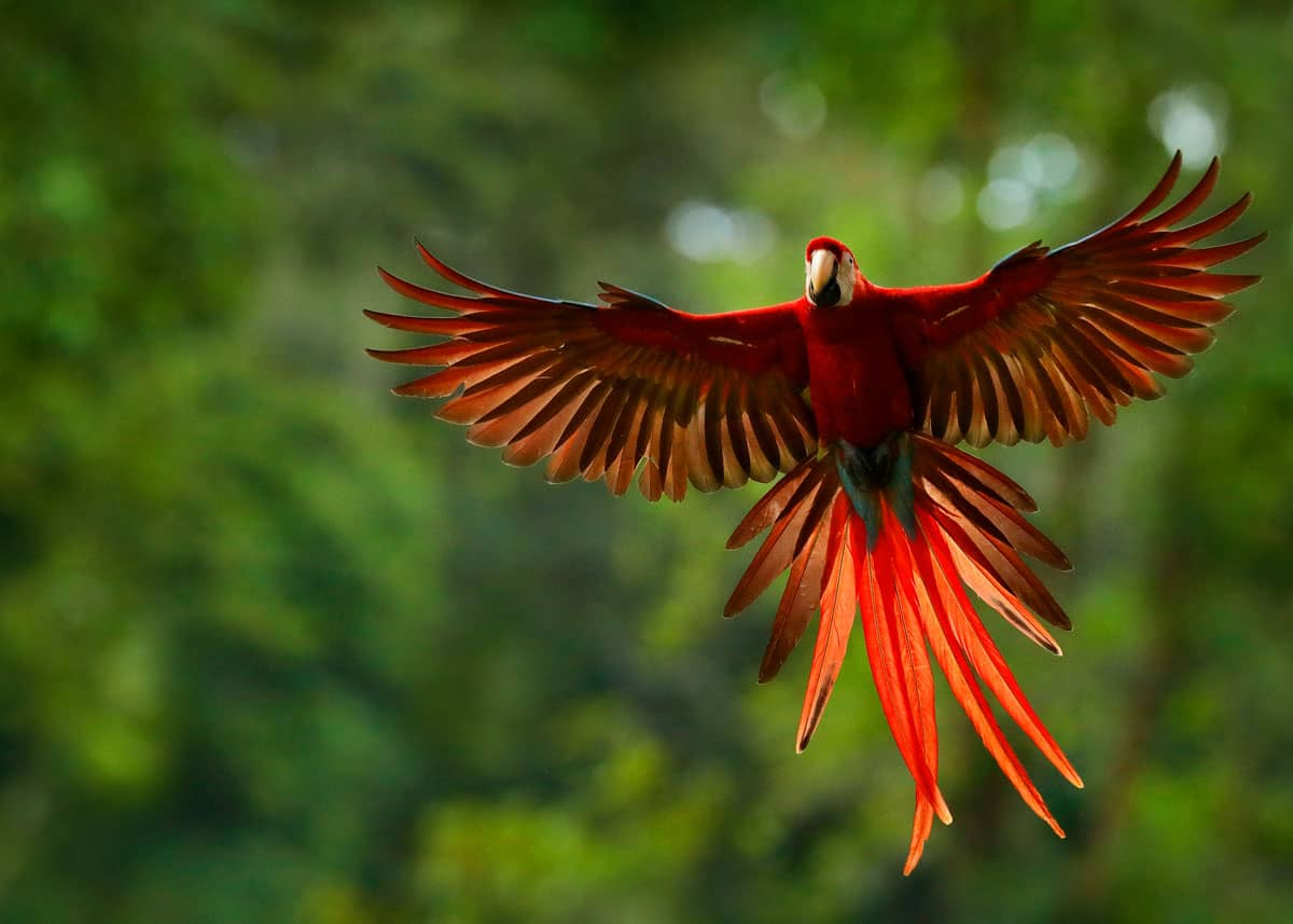 Where do scarlet macaws live?