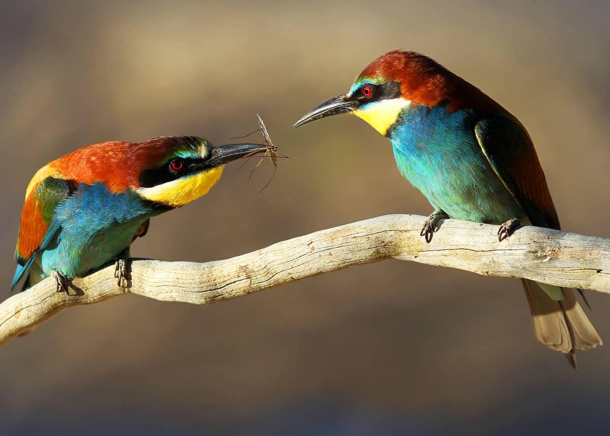 Cool birds European bee-eater couple Merops apiaster