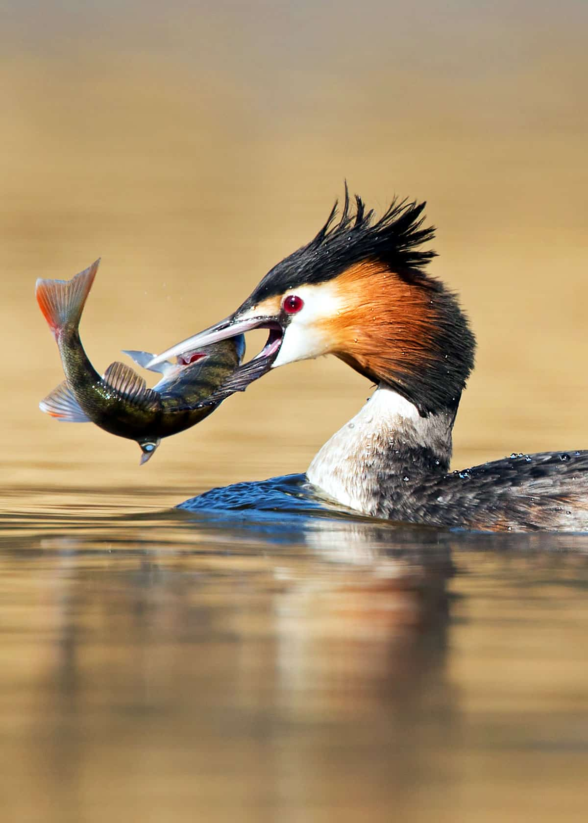 Great crested grebe Podiceps cristatus