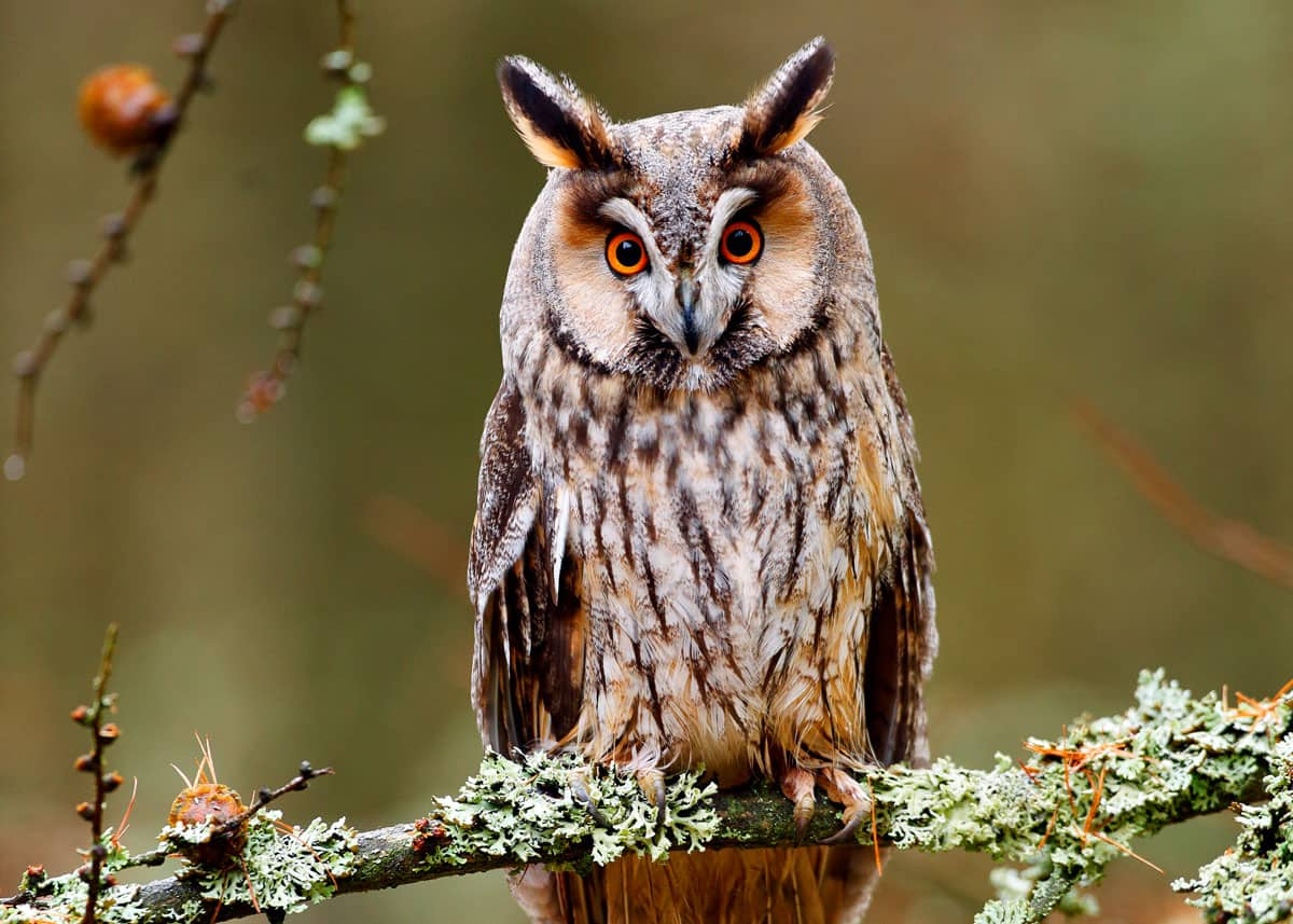 Nocturnal birds long-eared owl asio otus